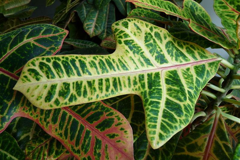 Назва:  800px-Codiaeum_variegatum_-_leaf_-_Kroton_001.JPG Переглядів: 1553  Розмір:  112,6 КБ